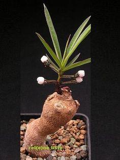CAUDICIFORM Monadenium pedunculatum