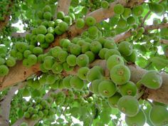 18 Best Fig Trees Images Edible Garden Fig Tree Vegetable Garden