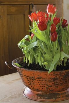 The big chill: Learn a few tricks for forcing tulip bulbs  : Home-and-garden