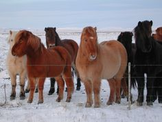 Google Image Result for http://upload.wikimedia.org/wikipedia/commons/a/a0/Iceland_horse.jpg