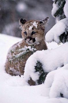 Mountain Lion cub - so cute! Cute Baby Animals, Animals And Pets, Funny Animals, Wild Animals, Funny Cats, Beautiful Cats, Animals Beautiful, Pretty Animals, Big Cats