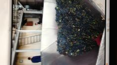 Grapes ready to be crushed at Teliani Valley winery