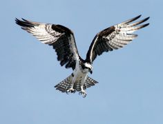 #RoomWithAView Early last April, a pair of ospreys — newlyweds, so to speak — built themselves a nest there. Every so often, we'd see one or the other of them…  📷 WikiImages | Pixabay