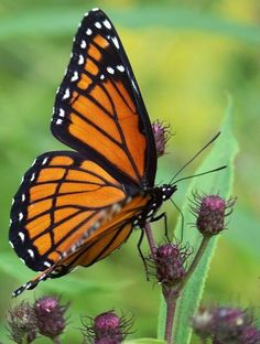 I love seeing the monarch butterflies flying around in the backyard during Summer (=