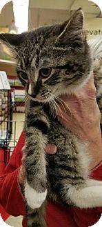 New York, NY - Domestic Shorthair. Meet Raindrop, a cat for adoption. http://www.adoptapet.com/pet/17598628-new-york-new-york-cat
