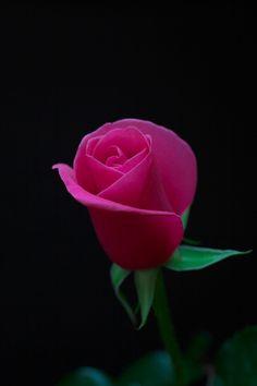 Rose dancer by Duke Uehara