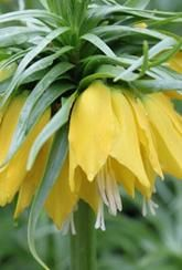 These Fritillaria imperialis Maxima Lutea bulbs grow well in shade and couldn't look more extravagant if they tried. A beautiful regal fritillary Wild Bird Food, Wild Birds, Planting Vegetables, Garden Accessories, Flower Seeds, Garden Inspiration, Bulbs, Flowers, Plants