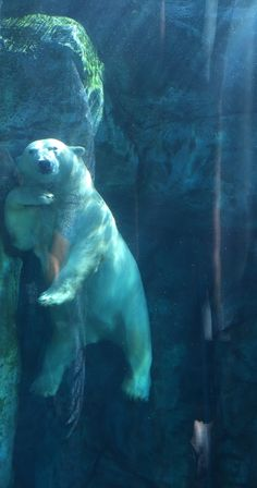 Polar Bear at Assiniboine Park Zoo, Winnipeg, Manitoba, Canada Love Bear, Big Bear, Bear Pictures, Animal Pictures, Zoo Animals, Cute Animals, Penguins And Polar Bears, Spirit Bear, Drag