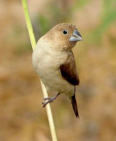 African Silverbill finch ( Euodice cantans ) The species is closely related to the Asian munias. Can be seen across many of the West African and far north East African countries. Habitat . Dry wooded savanna to semi arid savanna and villages