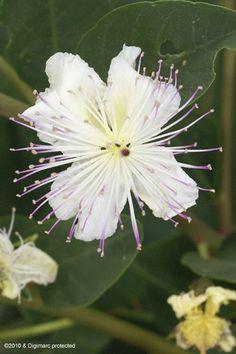 Capparis sicula ssp. sicula Plants, Flowers, Herbs