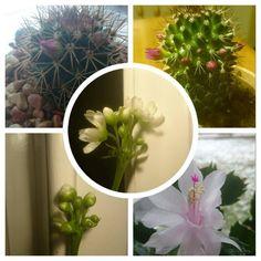 Antar att det måste vara mitt fantastiskt glada humör som smittar av sig på mina växter för det blommar ju som sören:-) #venusflytrap #kaktus #blommor #växter by ap_1982