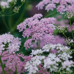 """Chiltern Seeds on Instagram: """"This has been a favourite from our new spring catalogue. It's Pimpinella major 'Rosea', an airy Cow Parsley-like plant. . #pimpinella…"""" Cow Parsley, Oh Beautiful, Annie, Catalog, Seeds, Home And Garden, Outdoors, Gardening, Spring"""