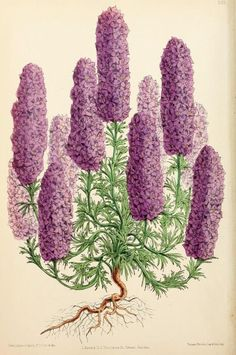 Candelabra Flowered Larkspur. Plate from The Floral Magazine. Biodiversity Heritage Library