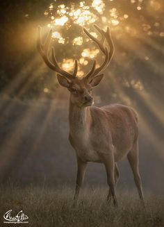 Golden Moment by Max Ellis - Just one of those magical summer dawns Deer Photos, Deer Pictures, Nature Pictures, Animal Pictures, Fishing Photography, Wildlife Photography, Animal Photography, Nature Animals, Animals And Pets
