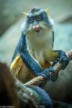 The Wolf's mona monkey is a colorful Old World monkey. It is found in central Africa, between the the Congo and Uganda. It lives in primary and secondary lowland rainforest and swamp forest. The Animals, Nature Animals, Baby Animals, Funny Animals, Cutest Animals, Wild Animals, Primates, Mammals, Interesting Animals