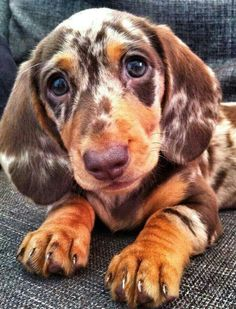 adorable chocolate doxie