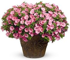 baea1bb4f6cdf4 Proven Winners Supertunia Vista Silver berry Petunia 4.25 in. Grande ...