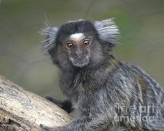 Marmaset Monkey Photos - Marmaset Monkey Portrait by Deborah  Smith