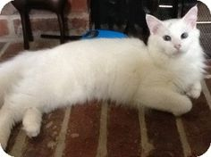 I think I want a ragdoll cat!