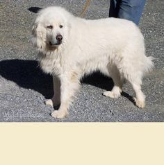 Meet Emmitt, a Petfinder adoptable Great Pyrenees Dog   El Dorado Hills, CA   Please note that dogs in our program are only available for adoption to those living in Northern...