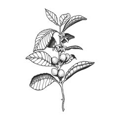 coffee plant illustration - Google Search