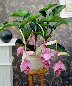 Medinilla Florinilla 'Bella' beautiful and unusual houseplant.