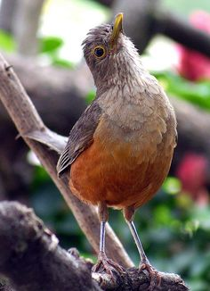 Sabiá-laranjeira, Rufous-bellied Thrush (Turdus rufiventris) by Bertrando©, via Flickr