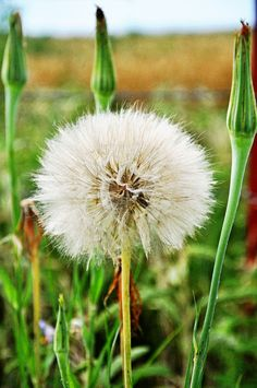 Oklahoma dandylion. ......  AKA:  a wish flower