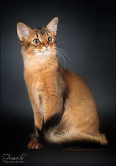 Somali- just so everyone knows i will own this cat someday