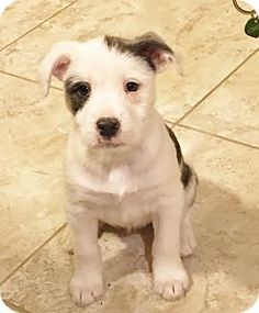 Knoxville, TN - Boston Terrier/Schnauzer (Standard) Mix. Meet LACIE, a puppy for adoption. http://www.adoptapet.com/pet/17435608-knoxville-tennessee-boston-terrier-mix
