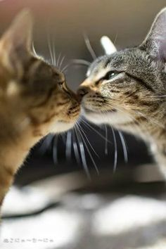 Kissing Cousins - Cat Style