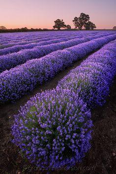 Explosion of Lavender