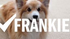 A 20-second introduction to Frankie the Fluffy Corgi and all his cute.