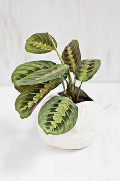 Prayer Plant earned its name because of the way its leaves fold together at night, like hands closed in prayer.