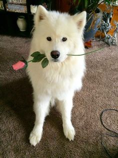 34 Samoyed Saturday Dog Samoyed Photos Who doesnt love cute dogs and are some of the cutest. Cute Funny Animals, Cute Baby Animals, Animals And Pets, Beautiful Dogs, Animals Beautiful, Tier Wallpaper, Samoyed Dogs, Fluffy Dogs, Cute Dogs And Puppies