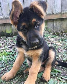 Wicked Training Your German Shepherd Dog Ideas. Mind Blowing Training Your German Shepherd Dog Ideas. Dog Training Methods, Best Dog Training, Potty Training, Gsd Puppies, Cute Dogs And Puppies, Pet Dogs, Yorkshire Terrier Puppies, German Shepherd Puppies, Baby German Shepherds