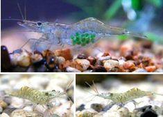 amazing freshwater aquarium fish