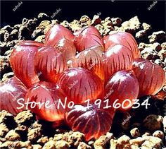 100Pcs Lithops Seeds Living Stone Flower Seeds Rare Succulent Bonsai Meaty Plant, Purify the Air, Natural Growth for Home Garden