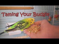 In this video, i will show you how to tame & bond with your budgies correctly. Since birds are somewhat skittish, it may take a long time to tame them and it. Pet Bird Cage, Bird Cages, Love Birds, Beautiful Birds, Parakeet Toys, Parakeet Care, Budgies, Parrots, Dogue De Bordeaux