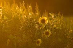 Sunflowers at sunset by Thorsten Scheel, via 500px
