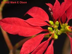 Poinsettia, Euphorbia pulcherrima. The bracts (red leaves) of the wild species are much narrower than those of the cultivated species.