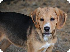 Bedford, TX - Redbone Coonhound/Beagle Mix. Meet Cedar a Puppy for Adoption.