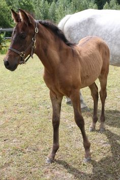 Samba del Bosque - 2017 PRE filly by Hercules G and out of Scheherazade HP (Gaucho III)