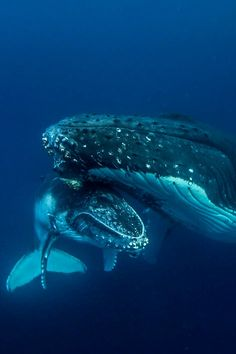 Makxveli  /  Whale mother and baby Haapai Tonga by Darren Rice