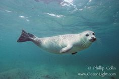 Harbor Seal- Image for Painting