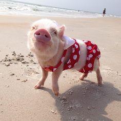 priscilla mini-pig