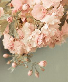 八重桜(yaezakura) au mois de mai, voirez a tokyo.