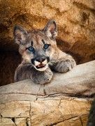 "University of Houston: Shasta VI, rescued after a hunter killed his mother in Washington State, now living at the Houston Zoo with her own 24 hour cable ""show"" !"