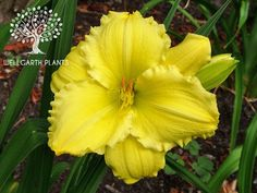 Daylily/Hemerocallis 'Beauty to Behold' (Sellers, 1978). Showy lemon yellow self with round ruffled blooms & a radiant green throat.