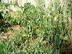 Tomato Wilt Disease